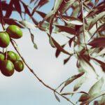 Verschillen in olijven